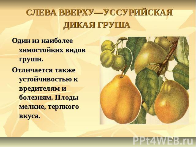 СЛЕВА ВВЕРХУ—УССУРИЙСКАЯ ДИКАЯ ГРУША Один из наиболее зимостойких видов груши.Отличается также устойчивостью к вредителям и болезням. Плоды мелкие, терпкого вкуса.