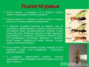 Рыжие Муравьи Когда говорят о муравьях, то в первую очередь имеют в виду рыжих л