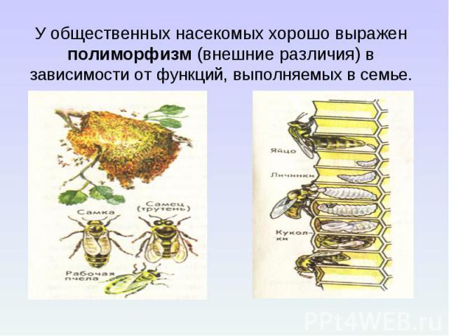 У общественных насекомых хорошо выражен полиморфизм (внешние различия) в зависимости от функций, выполняемых в семье.
