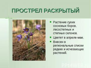ПРОСТРЕЛ РАСКРЫТЫЙ Растение сухих сосновых боров, лесостепных и степных склонов.