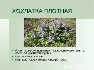 ХОХЛАТКА ПЛОТНАЯ Растет в широколиственных и елово-широколиственных лесах, ольша