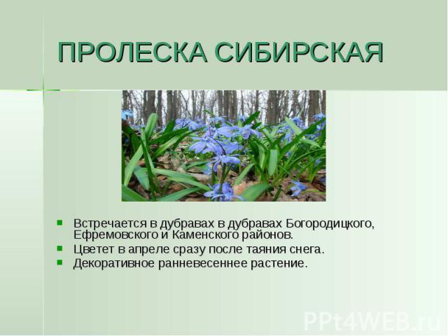 ПРОЛЕСКА СИБИРСКАЯ Встречается в дубравах в дубравах Богородицкого, Ефремовского и Каменского районов.Цветет в апреле сразу после таяния снега.Декоративное ранневесеннее растение.