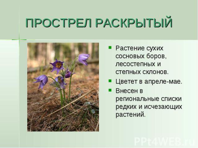 ПРОСТРЕЛ РАСКРЫТЫЙ Растение сухих сосновых боров, лесостепных и степных склонов.Цветет в апреле-мае.Внесен в региональные списки редких и исчезающих растений.