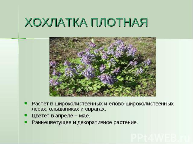 ХОХЛАТКА ПЛОТНАЯ Растет в широколиственных и елово-широколиственных лесах, ольшаниках и оврагах.Цветет в апреле – мае. Раннецветущее и декоративное растение.