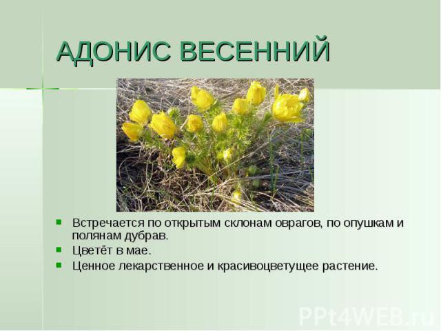 АДОНИС ВЕСЕННИЙ Встречается по открытым склонам оврагов, по опушкам и полянам дубрав.Цветёт в мае.Ценное лекарственное и красивоцветущее растение.