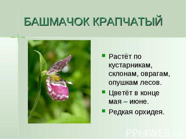 БАШМАЧОК КРАПЧАТЫЙ Растёт по кустарникам, склонам, оврагам, опушкам лесов.Цветёт в конце мая – июне.Редкая орхидея.