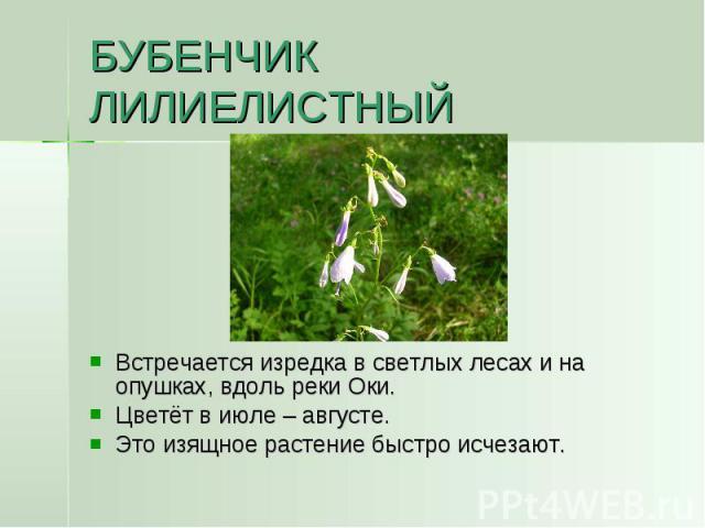 БУБЕНЧИК ЛИЛИЕЛИСТНЫЙ Встречается изредка в светлых лесах и на опушках, вдоль реки Оки.Цветёт в июле – августе.Это изящное растение быстро исчезают.