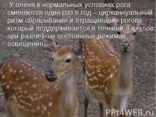 У оленя в нормальных условиях рога сменяются один раз в год – цирканнуальный рит
