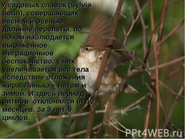 У садовых славок (Sylvia borin), совершающих весной и осенью дальние перелеты, по ночам наблюдается выраженное миграционное беспокойство, у них увеличивается вес тела вследствие отложения жира. Линька – летом и зимой. И здесь период ритмов отклонялс…
