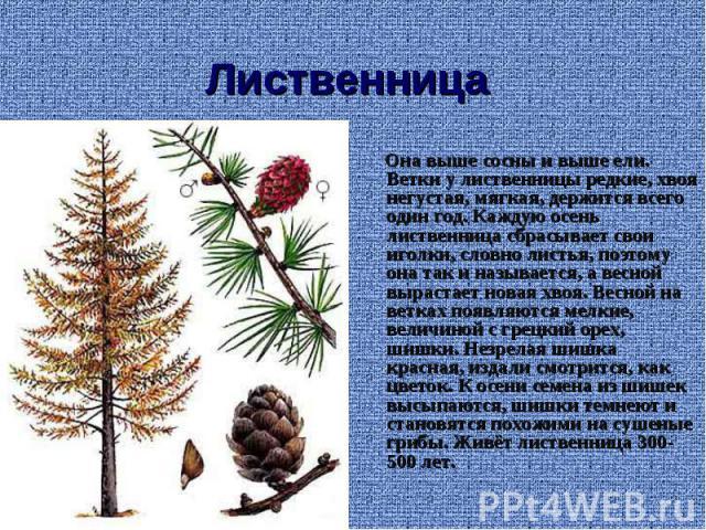 Лиственница Она выше сосны и выше ели. Ветки у лиственницы редкие, хвоя негустая, мягкая, держится всего один год. Каждую осень лиственница сбрасывает свои иголки, словно листья, поэтому она так и называется, а весной вырастает новая хвоя. Весной на…