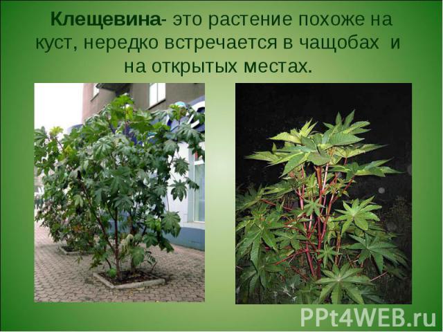 Клещевина- это растение похоже на куст, нередко встречается в чащобах и на открытых местах.