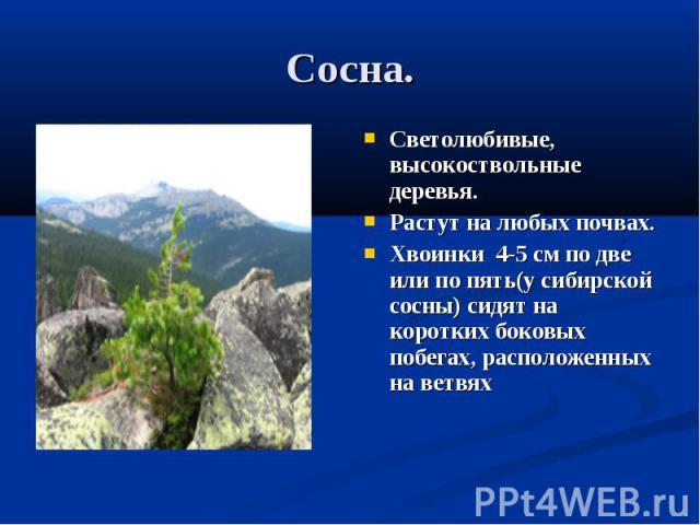 Сосна. Светолюбивые, высокоствольные деревья.Растут на любых почвах.Хвоинки 4-5 см по две или по пять(у сибирской сосны) сидят на коротких боковых побегах, расположенных на ветвях