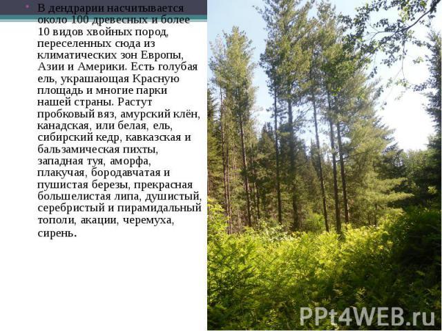 В дендрарии насчитывается около 100 древесных и более 10 видов хвойных пород, переселенных сюда из климатических зон Европы, Азии и Америки. Есть голубая ель, украшающая Красную площадь и многие парки нашей страны. Растут пробковый вяз, амурский клё…
