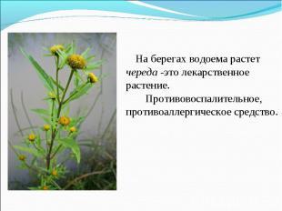 На берегах водоема растет череда -это лекарственное растение. Противовоспалитель