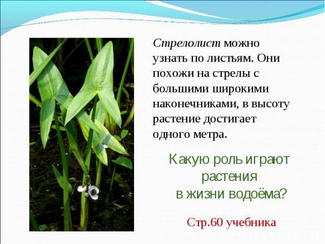 Стрелолист можно узнать по листьям. Они похожи на стрелы с большими широкими наконечниками, в высоту растение достигает одного метра. Какую роль играют растения в жизни водоёма?Стр.60 учебника