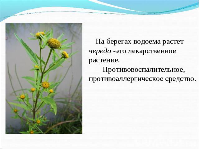 На берегах водоема растет череда -это лекарственное растение. Противовоспалительное, противоаллергическое средство.