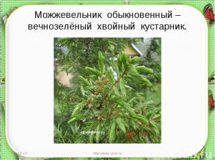 Можжевельник обыкновенный – вечнозелёный хвойный кустарник.