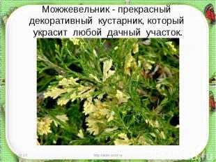 Можжевельник - прекрасный декоративный кустарник, который украсит любой дачный у