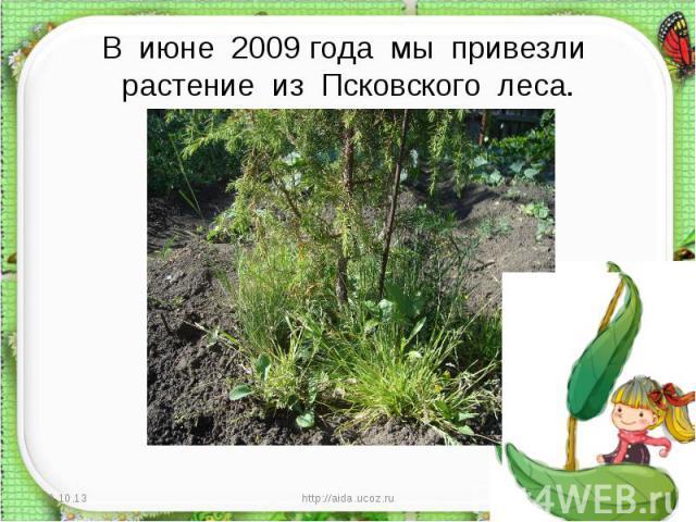 В июне 2009 года мы привезли растение из Псковского леса.