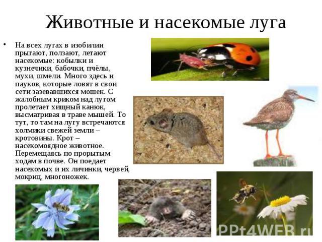 Животные и насекомые луга На всех лугах в изобилии прыгают, ползают, летают насекомые: кобылки и кузнечики, бабочки, пчёлы, мухи, шмели. Много здесь и пауков, которые ловят в свои сети зазевавшихся мошек. С жалобным криком над лугом пролетает хищный…
