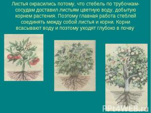 Листья окрасились потому, что стебель по трубочкам-сосудам доставил листьям цвет