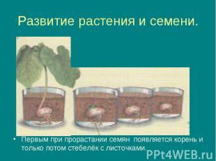 Развитие растения и семени. Первым при прорастании семян появляется корень и тол