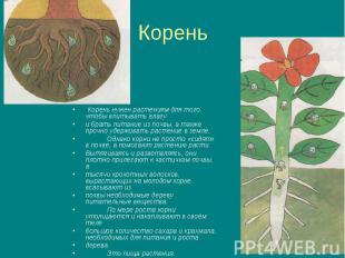 Корень Корень нужен растениям для того, чтобы впитывать влагу и брать питание из