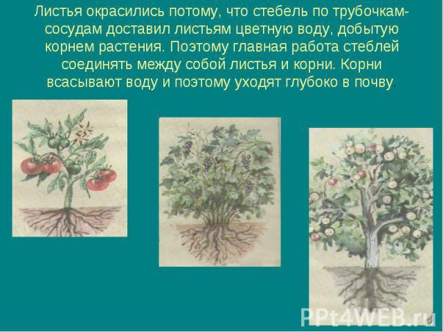 Листья окрасились потому, что стебель по трубочкам-сосудам доставил листьям цветную воду, добытую корнем растения. Поэтому главная работа стеблей соединять между собой листья и корни. Корни всасывают воду и поэтому уходят глубоко в почву.