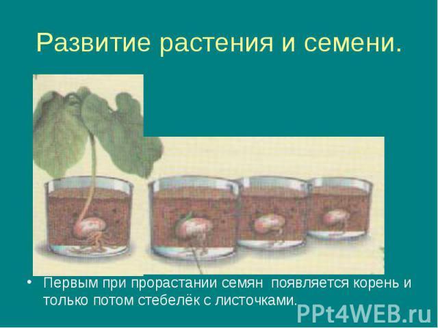 Развитие растения и семени. Первым при прорастании семян появляется корень и только потом стебелёк с листочками.
