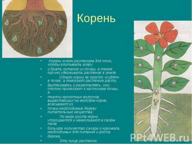 Корень Корень нужен растениям для того, чтобы впитывать влагу и брать питание из почвы, а также прочно удерживать растение в земле.Однако корни не просто «сидят» в почве, а помогают растению расти.Вытягиваясь и разветвляясь, они плотно прилегают к ч…
