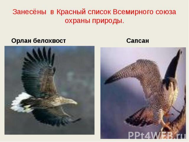 Занесёны в Красный список Всемирного союза охраны природы. Орлан белохвостСапсан