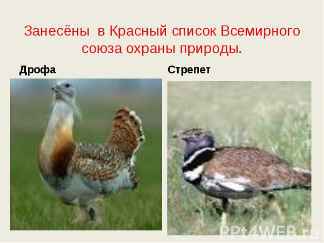 Занесёны в Красный список Всемирного союза охраны природы. ДрофаСтрепет