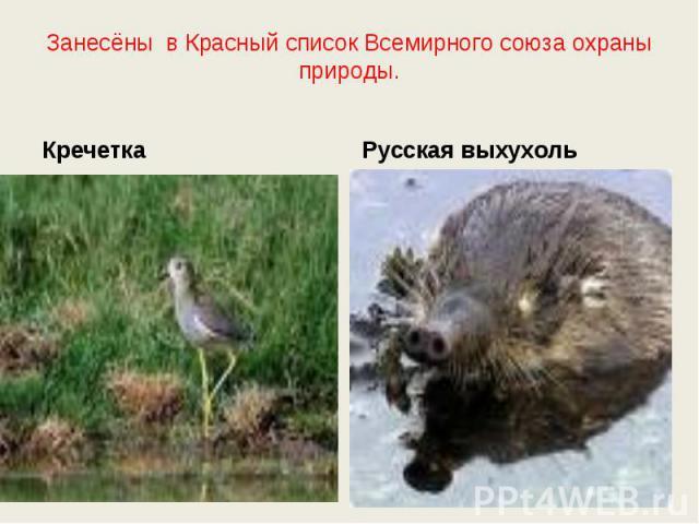 Занесёны в Красный список Всемирного союза охраны природы. КречеткаРусская выхухоль
