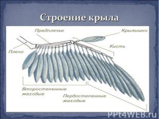Строение крыла