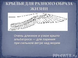 КРЫЛЬЯ ДЛЯ РАЗНОГО ОБРАЗА ЖИЗНИ Очень длинное и узкое крыло альбатроса — для пар