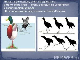 Птицы часто подолгу стоят на одной ноге имогут спать стоя — столь совершенно у