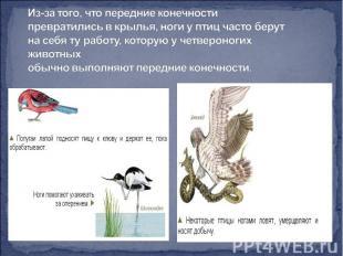 Из-за того, что передние конечности превратились в крылья, ноги у птиц часто бер