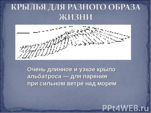 КРЫЛЬЯ ДЛЯ РАЗНОГО ОБРАЗА ЖИЗНИ Очень длинное и узкое крыло альбатроса — для парения при сильном ветре над морем