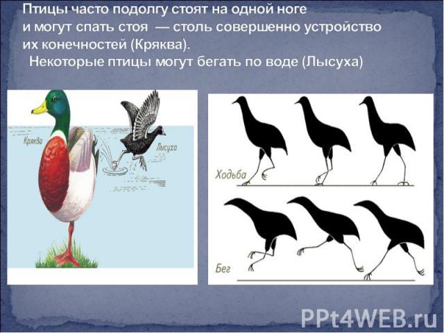 Птицы часто подолгу стоят на одной ноге имогут спать стоя — столь совершенно устройство их конечностей (Кряква). Некоторые птицы могут бегать по воде (Лысуха)