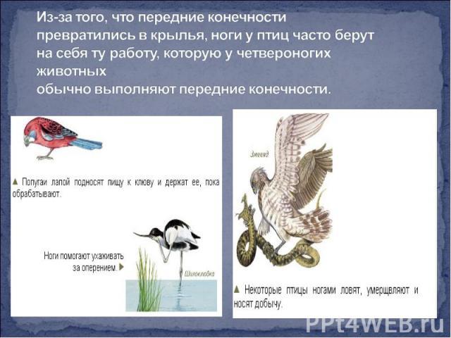 Из-за того, что передние конечности превратились в крылья, ноги у птиц часто берут на себя ту работу, которую у четвероногих животных обычно выполняют передние конечности.