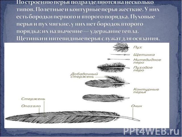 По строению перья подразделяются на несколько типов. Полетные иконтурные перья жесткие. У них есть бородки первого и второго порядка. Пуховые перья и пух мягкие, у них нет бородок второго порядка; их назначение — удержание тепла. Щетинки и нитевидн…
