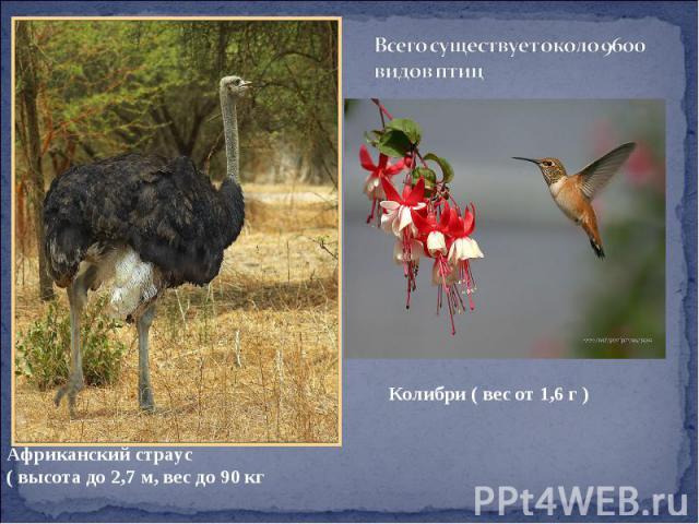 Всего существует около 9600 видов птиц Африканский страус ( высота до 2,7 м, вес до 90 кг Колибри ( вес от 1,6 г )