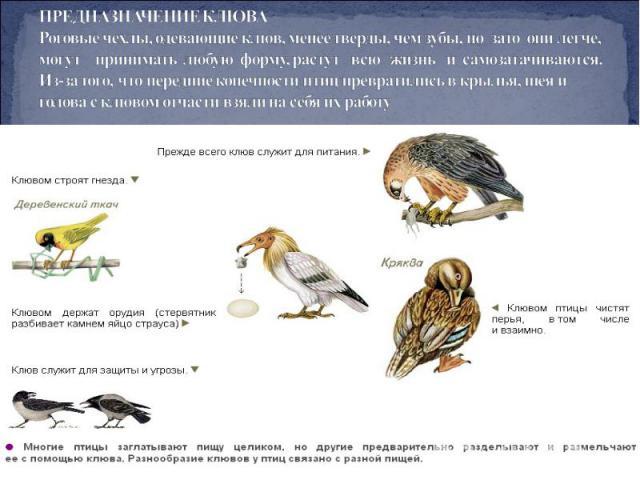 ПРЕДНАЗНАЧЕНИЕ КЛЮВА Роговые чехлы, одевающие клюв, менее тверды, чем зубы, но зато они легче, могут принимать любую форму, растут всю жизнь и самозатачиваются. Из-за того, что передние конечности птиц превратились в крылья, шея и голова склювом о…