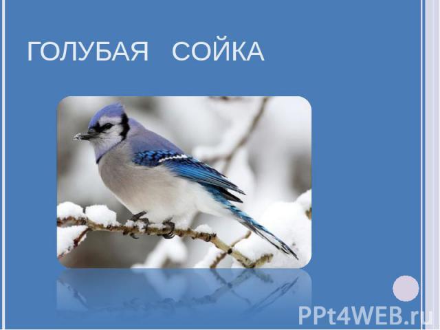 Голубая сойка