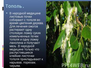 Тополь. В народной медицине листовые почки собирают с тополя во время цветения д