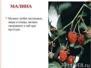 Малина Малину любят насекомые, звери и птицы, малину заваривают в чай при просту