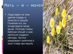 Мать – и – мачеха. Люди варят из этих цветов отвары и лечатся от кашля. Понюхав