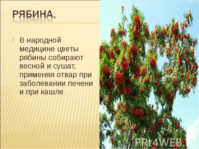 Рябина. В народной медицине цветы рябины собирают весной и сушат, применяя отвар при заболевании печени и при кашле