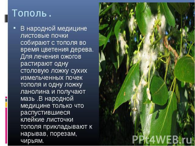 Тополь. В народной медицине листовые почки собирают с тополя во время цветения дерева. Для лечения ожогов растирают одну столовую ложку сухих измельченных почек тополя и одну ложку ланолина и получают мазь .В народной медицине только что распустивши…