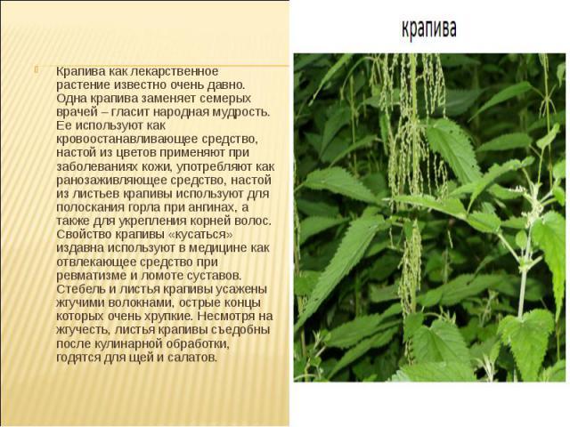 Крапива как лекарственное растение известно очень давно. Одна крапива заменяет семерых врачей – гласит народная мудрость. Ее используют как кровоостанавливающее средство, настой из цветов применяют при заболеваниях кожи, употребляют как ранозаживляю…